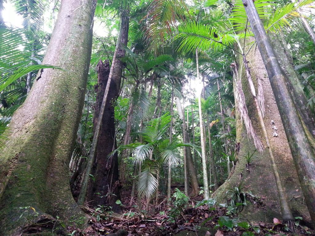 Duas Marias - árvores gigantescas